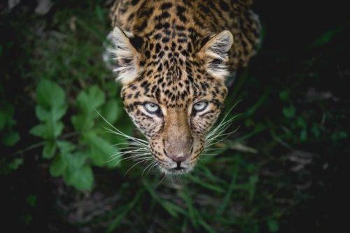 La noche de las panteras. Leopardo. Libros Prohibidos